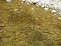 Chondrostoma toxostoma 01.JPG