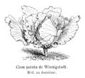 Chou pointu de Winnigstadt Vilmorin-Andrieux 1904.png