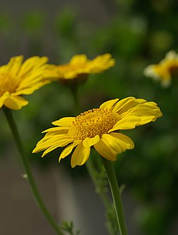 Chrysanthemum coronarium May 2008.jpg
