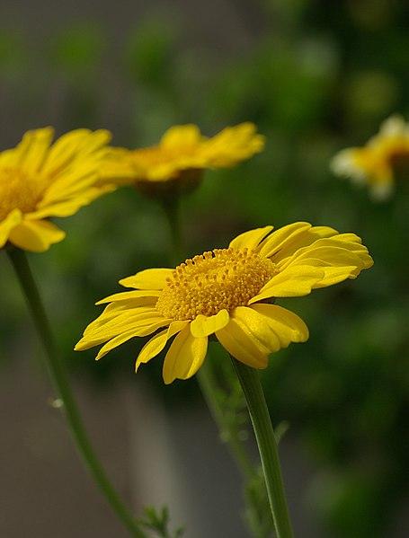 File:Chrysanthemum coronarium May 2008.jpg