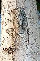 Cicada (25419446).jpg