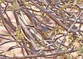 Cinderella Waxbill (Estrilda thomensis).jpg
