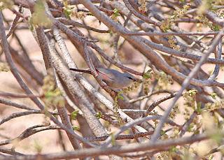 Cinderella waxbill species of bird