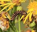Cinnabar moth caterpillar - Flickr - S. Rae.jpg
