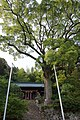 Cinnamomum camphora of Azumaya Shrine in Ushiwaramachi.jpg