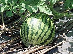 https://upload.wikimedia.org/wikipedia/commons/thumb/8/89/Citrullus_lanatus5SHSU.jpg/250px-Citrullus_lanatus5SHSU.jpg