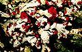 Cladonia cristatella-1.jpg