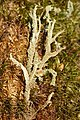 Cladonia squamosa closeup.jpg