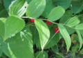 Clasping Leaved Twisted Stalk.png