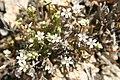 Claytonia exigua ssp. exigua (joedecruyenaere) 001.jpg