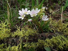 Description de l'image Claytonia lanceolata Meeks Table.jpg.
