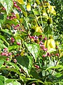Clerodendron trichotomum fargesii ^ Rudbeckia Herbstsonne - Flickr - peganum (1).jpg