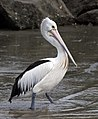 Clontarf Pelican at boat ramp-01and (3364129599).jpg