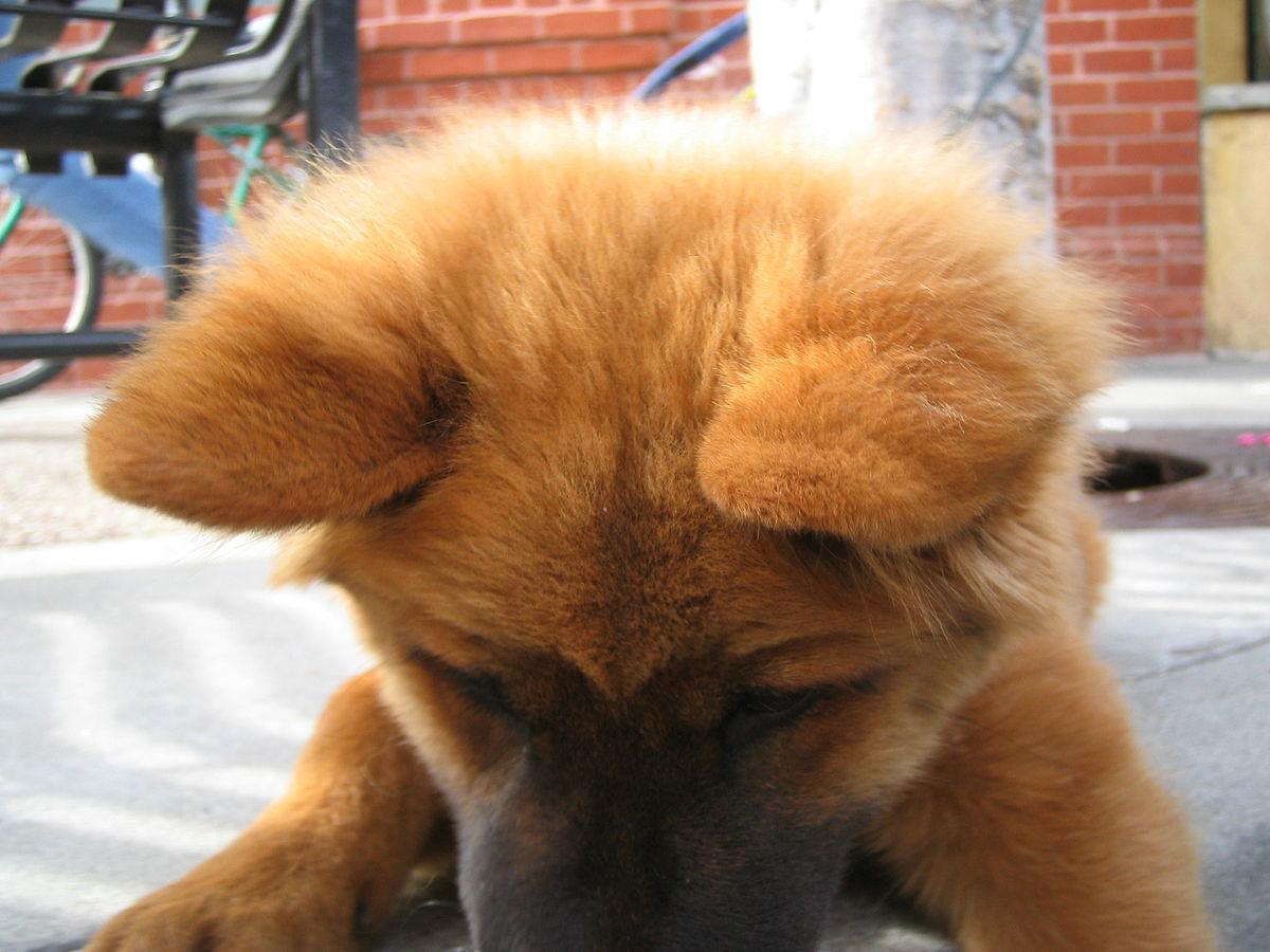Pelo (animal) - Wikipedia, la enciclopedia libre