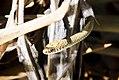 Cobra-palheira (Phylodryas patagoniensis) - Patagonia Green Racer.jpg