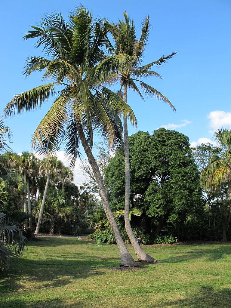 File Cocos Nucifera Fairchild Tropical Botanic Garden