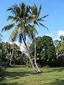 Cocos nucifera - Fairchild Tropical Botanic Garden.jpg