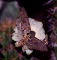 Cocytius antaeus em Pilosocereus gounellei EARMLucena2007-2.png
