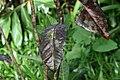 Codiaeum variegatum 48zz.jpg