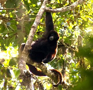 Yellow-tailed woolly monkey species of mammal