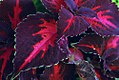 Coleus Kingswood Torch 0zz.jpg