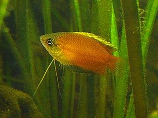 Honey gourami species of fish