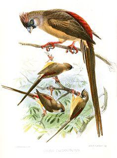 Red-backed mousebird species of bird