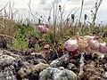 Coluteocarpus vesicaria Sevkar 07.jpg