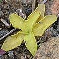 Common Butterwort (Pinguicula vulgaris) - Gros Morne National Park, Newfoundland 2019-08-17 (01).jpg