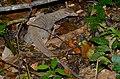 Common Indian Monitor (Varanus bengalensis) (8746995373).jpg