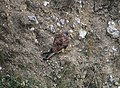 Common Kestrel on Cliffside near Beer, Devon (2).jpg
