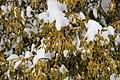 Common Mistletoe - Viscum album - panoramio.jpg