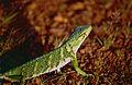 Common Monkey Lizard (Polychrus marmoratus) (10509630926).jpg