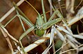 Common Predatory Bush-cricket (Saga pedo) (35656777243).jpg