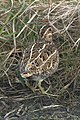 Common Snipe (Gallinago gallingo), Lamba Ness - geograph.org.uk - 1311673.jpg