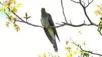 File:Common cuckoo (Cuculus canorus) in Slovakia.webm