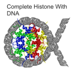 DNA fragmentation - A nucleosome, consisting of DNA (grey) wrapped around a histone tetramer (coloured). In apoptotic DNA fragmentation, the DNA is cleaved in the internucleosomal linker region, which is the part of the DNA not wrapped around the histones.