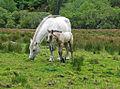 Connemara - Connemara National Park, Connemara Ponies 1.jpg