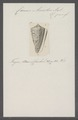 Conus amadis - - Print - Iconographia Zoologica - Special Collections University of Amsterdam - UBAINV0274 086 07 0018.tif