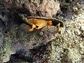 Conus flavidus Réunion.jpg