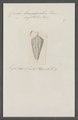 Conus lemniscatus - - Print - Iconographia Zoologica - Special Collections University of Amsterdam - UBAINV0274 086 07 0061.tif