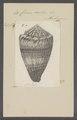 Conus miles - - Print - Iconographia Zoologica - Special Collections University of Amsterdam - UBAINV0274 086 08 0012.tif