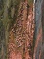 Coral Spot Fungus (Nectria cinnabarina) - geograph.org.uk - 1091903.jpg