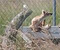 Corsac fox scratching himself (9295909182).jpg