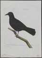 Corvus monedula - 1790-1796 - Print - Iconographia Zoologica - Special Collections University of Amsterdam - UBA01 IZ15700257.tif