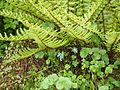 Corydalis cashmeriana (7851439938).jpg