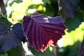 Corylus avellana Rosita 0zz.jpg