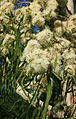 Corymbia tessellaris flowers.jpg
