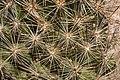 Coryphantha vivipara - Flickr - aspidoscelis (3).jpg