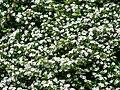 Cotoneaster dammeri (30).JPG